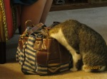 a cat trying to find the cookie in sister veith's bag.